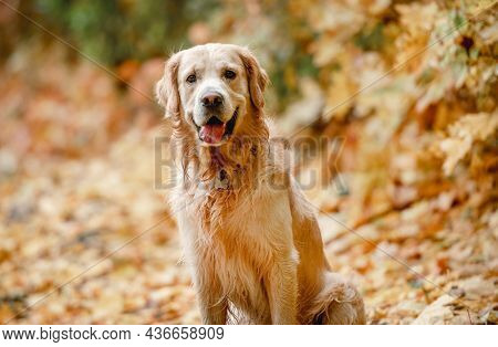 Adorable golden retriever dog sitting on yellow leaves in autumn park on ground and looking at camera. Cute purebred doggy pet outdoors