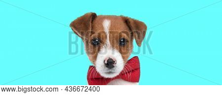 landscape of a beautiful jack russell terrier dog wearing a red bowtie against blue background