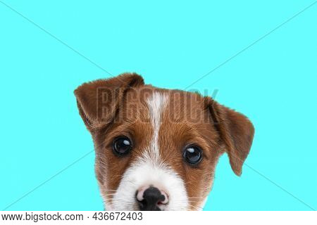 cute jack russell terrier dog hiding his face from the camera against blue studio background