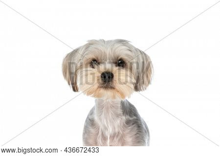 sweet yorkshire terrier dog doing nothing, just looking at the camera against white background