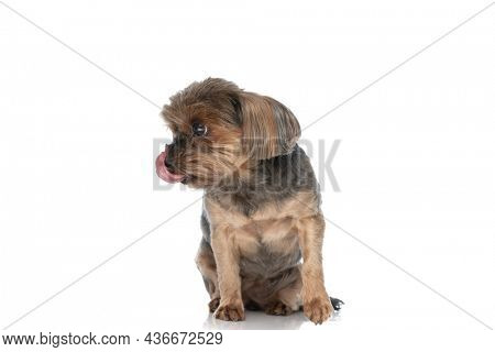 cute yorkshire terrier dog licking his mouth and looking to side on white background