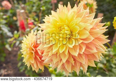 Macro Gradient Yellow Orange Dahlia. A Lush Blooming Dahlia, Pale Peach Color, Covered With Raindrop