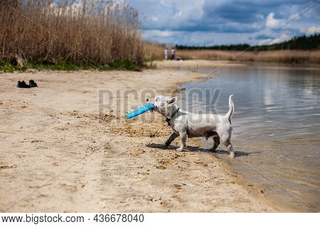 Small White Dog Coming Out Of The Water Holding Flying Disc In Mouth Profile Side View   Wet West Hi