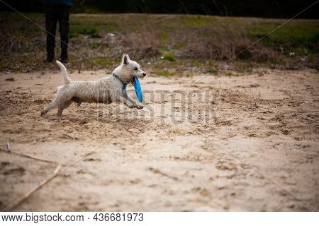 West Highland White Terrier Dog Running With Flying Disc In Mouth Profile Side View   Wet Dirty West