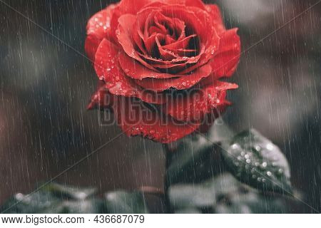 Red rose wallpaper in rain moody background