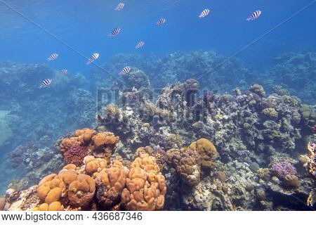 Colorful Coral Reef At The Bottom Of Tropical Sea, Hard Corals And Sergeant Major Fishes, Underwater