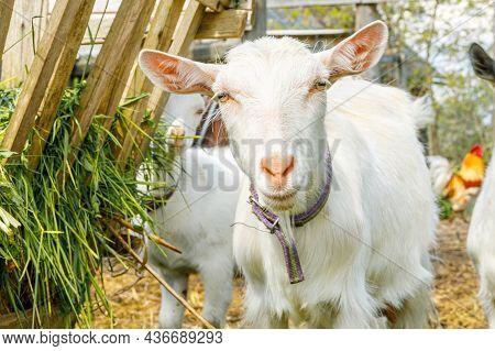 Modern Animal Livestock. Cute Goat Relaxing In Yard On Farm In Summer Day. Domestic Goats Grazing In