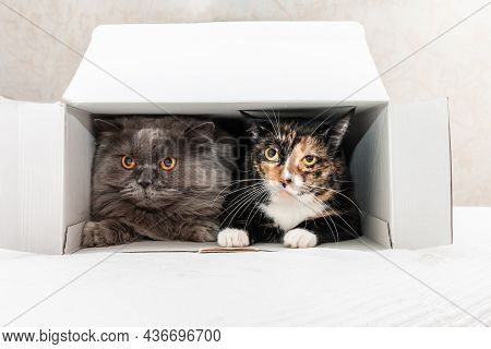 A Tricolor Cat And A British Cat Lie In A Cardboard Box. Friendship Of Animals. Funny Animals. Close