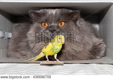 A Parrot Sits In Front Of A British Cat. Friendship Of Animals. Funny Animals. Close-up
