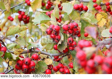 Ripe Berries, Haws, On Hawthorn Also Called Called Thornapple, May-tree, Whitethorn, Or Hawberry, Cr