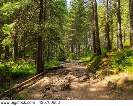 Scenic Trail Full Of Roots In The Middle Of Wooden Coniferous Forrest, Surrounded By Green Bushes An
