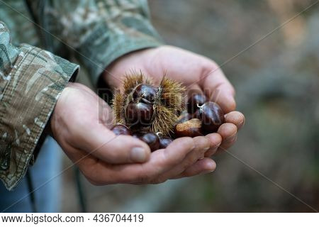 Chinese Chestnut, ripe fruits in male hands, harvest in the garden
