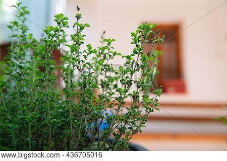 Summer savory. Kitchen herbs growing in garden summer outdoor