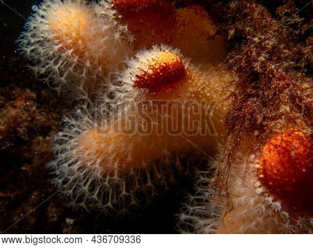 A Closeup Picture Of A Feeding Soft Coral Dead Mans Fingers Or Alcyonium Digitatum. Picture From The