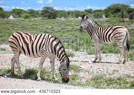 Plains Zebras (equus Quagga) In A Green Savannah Of The Etosha National Park In Namibia