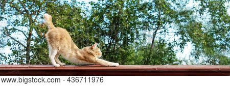 Orange Cat Stretching Outdoors, Side View Of Ginger Kitty Standing On High Fence. Domestic Fluffy Fe