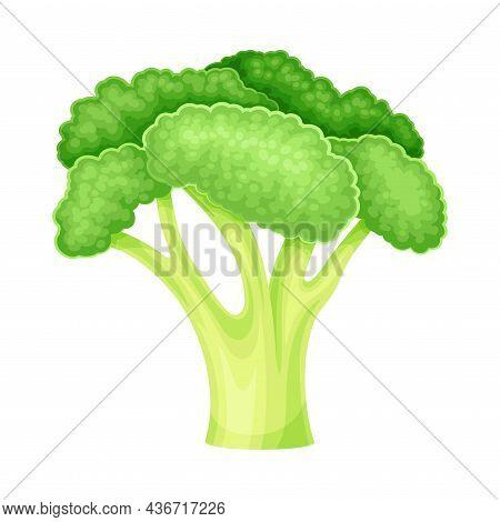 Ripe Green Broccoli Vegetable As Healthy Raw Food And Garden Cultivar Closeup Vector Illustration