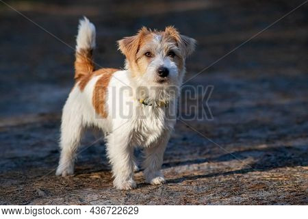 Wirehaired Jack Russell Terrier Puppy Running On The Grass At Dusk