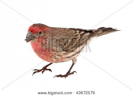Finch Eating Bird Seed