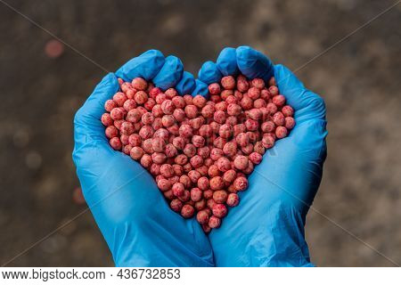 Close-up Of A Handful In The Hands In The Form Of A Heart Etched Soybean Seeds