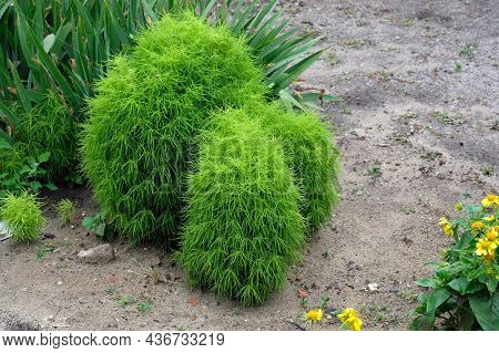 Kochia Is A Summer Cypress, Closeup. A Unique Plant, Which Is Widely Used In Landscape Design. A Sum
