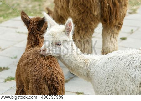 Alpaca Animal Close Up Of Head Funny Hair Cut And Chewing Action. Farm