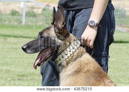 Fighting dog Belgian Malinois Breed