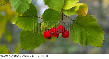 Red Berries On A Blurred Green Background. Hawthorn Berries.