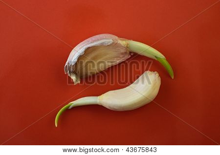 Progrown Cloves Of Garlic On A Dish