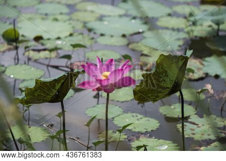 Time: Tuesday Morning, October 19, 2021. Location: Tam Da Lotus Lagoon, Ho Chi Minh City. Content: T