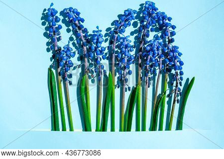 Postcard Layout. Spring Modern Still Life. Blue Muscari Flowers Growing From Rectangular Cut In Pape