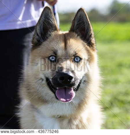 Training Of A Pomsky For Obedience In Nature