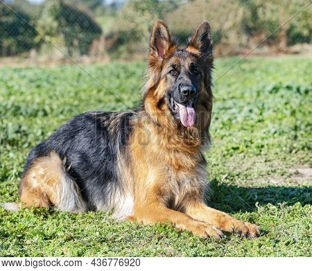 Young German Shepherd Stay In A Training Of Obedience