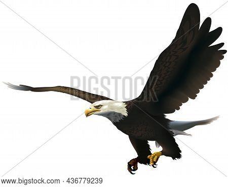 Bald Eagle (haliaeetus Leucocephalus) Flying With His Talons Ready To Grab Prey - Colored Illustrati
