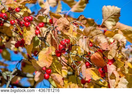 Red Hawthorn Berries Among Yellow Autumn Leaves