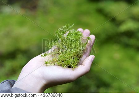 Moss In The Girls Hand. Green Wet Moss In The Forest. Protection And Conservation Of Nature, Biodive