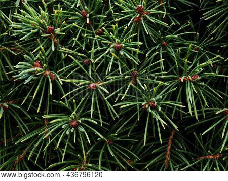 Original Background Drawing Of Canadian Spruce Shoots