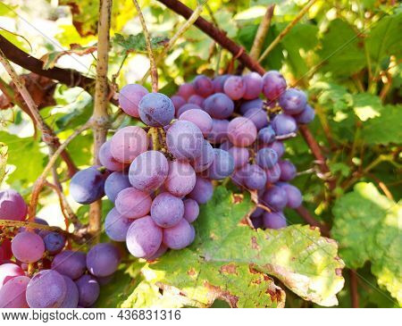 A Bunch Of Grapes Among The Leaves Grows In The Garden. The Harvest Is Ripe. Gardening, Cultivation,