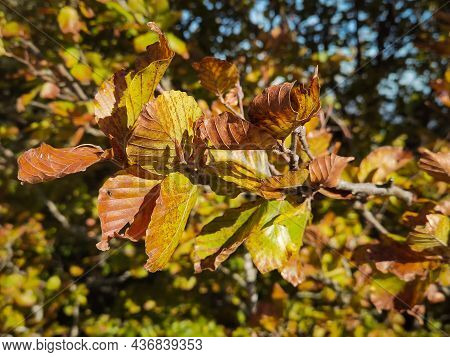 Close Up Of Autumnal Leaves In The Park Of Monte Cucco, Umbria