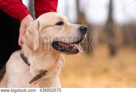 A Man Stroking A Dog In The Autumn Forest. The Golden Retriever Walks With Its Owner In The Park In