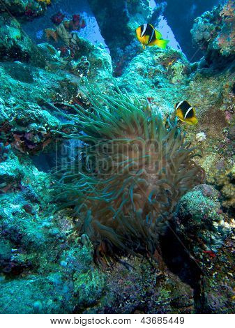 Carnatic Wreck Anemone