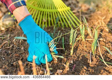 Spring Seasonal Gardening, Rake Cleaning Backyard Close-up.