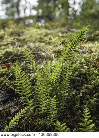 Sun Shines Through Green Leaves Of Fern. Close Up View Of Grass, Moss And Other Plants In Autumn For