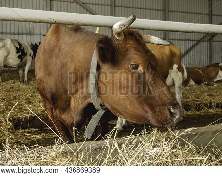 Close Up Portrait Of Brown Cow Chewing Hay. Herd Of Cows And Bulls In Cowshed. Animal Husbandry. Mam