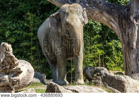 The Asian Elephant, Elephas Maximus Also Called Asiatic Elephant, Is The Only Living Species Of The