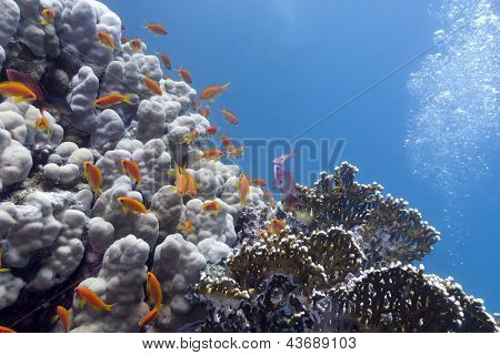 colorful coral reef with hard corals and exotic fishes anthias at the bootom of red sea in egypt poster