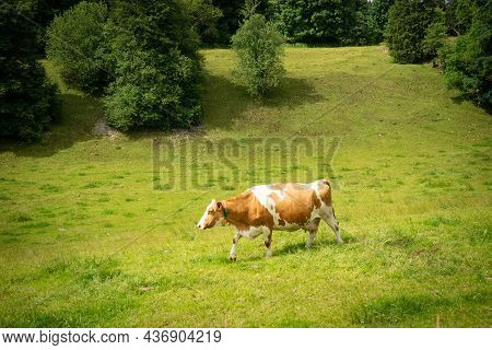 A Cow Grazing Strolling Around On A Paddock In The Swiss Jura Hills