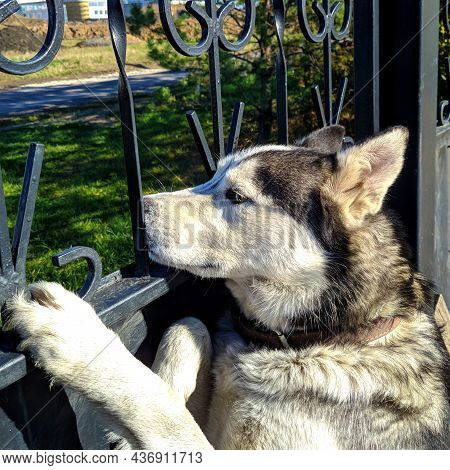 Siberian Purebred Husky Looks Outside Near A Metal Fence, The Dog Is Waiting For The Owner Behind Ba