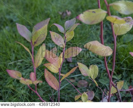 Colorful Leaves Of A Blueberry Bush. Multi-colored Leaves On A Branch. Bright Colors Of Autumn. Yell