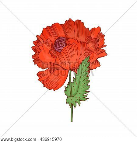 Red Poppy Flower With Blossomed Lush Petals And Leaf. British Remembrance Floral Plant Drawn In Retr